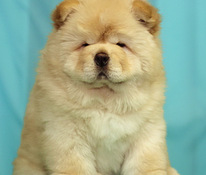 Helle Sahnefarbe des Chow-Chow-Welpen