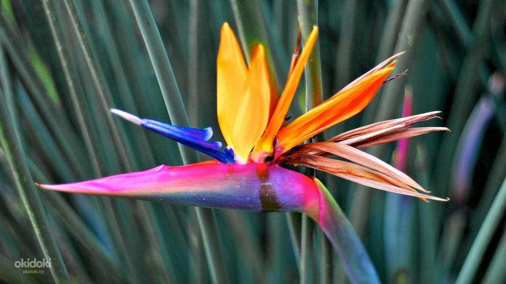 Стрелиция цветка