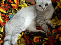 Scottish Fold Scottish Ladieshead,kes otsivad pruudi paarita